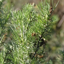 California Sagebrush