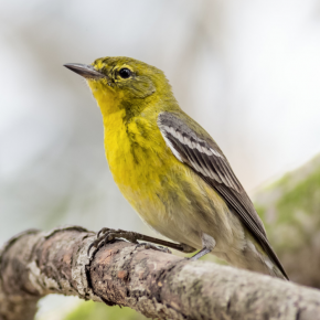 Pine Warbler by Jeff Bray, March 16, 2015