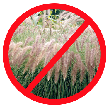 fountain grass