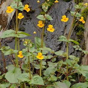 Seep Monkeyflower, one of the many native plant that will be available for sale at the Native Plant sale on November 12.