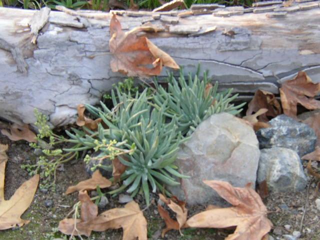 Dudelya virens ssp. hassei_Bright Green Dudleya_1