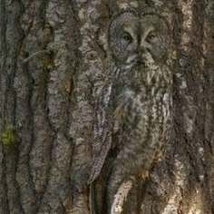 Owl_camouflage