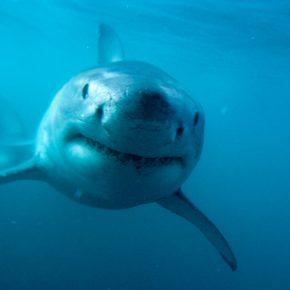 Predator,-Great-White-Shark