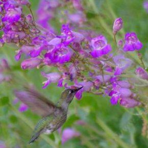 penstemon-hummingbird