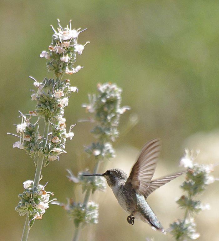 salvia-apiana-hummingbird