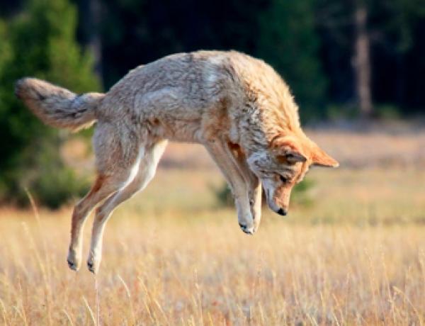 Coyote Information