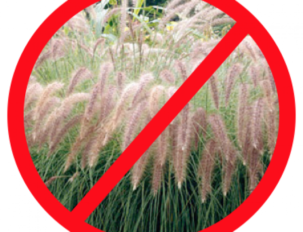Invasive Non-Native Plants to Avoid Planting in Your Yard