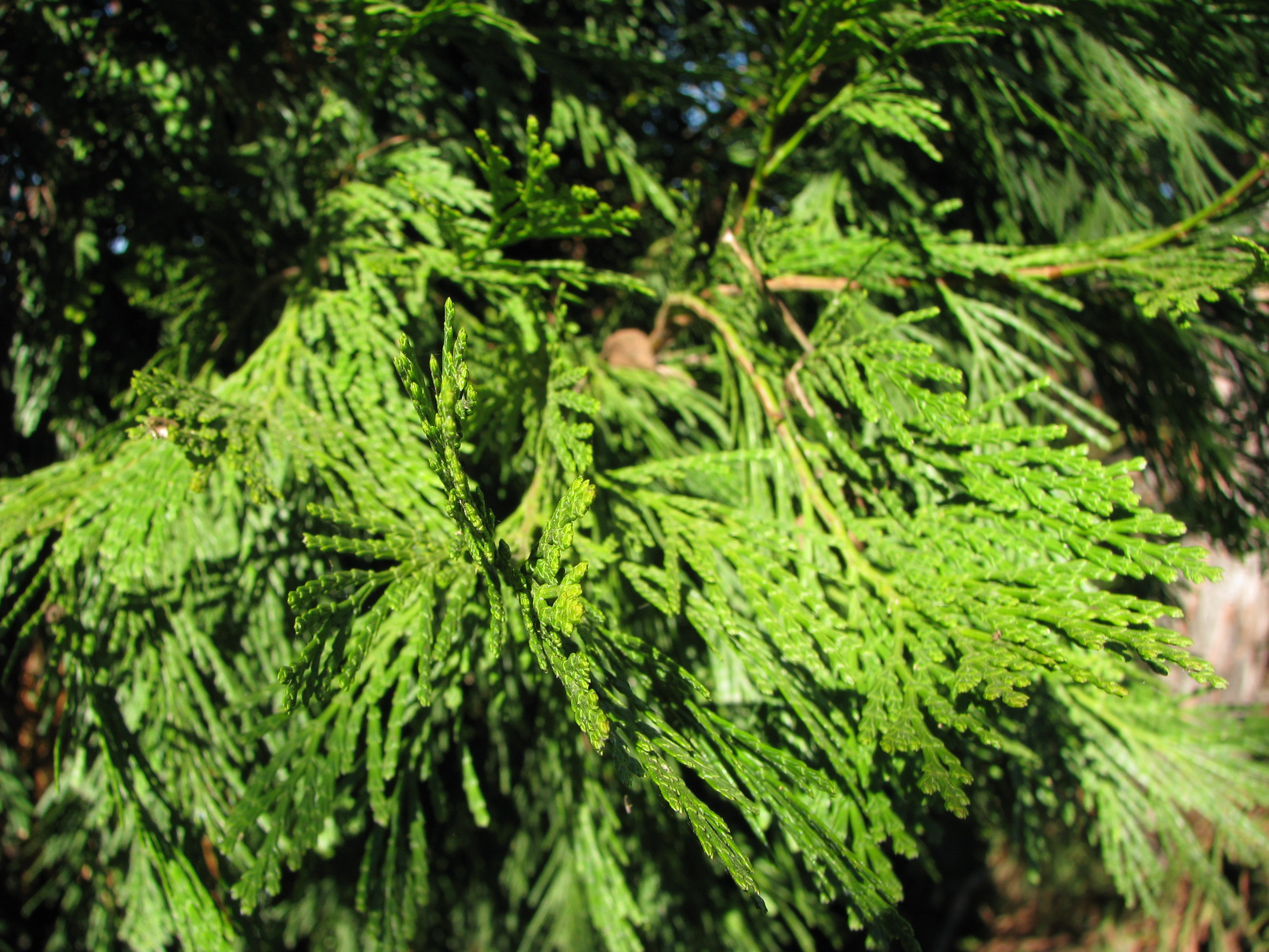 Evergreen Tree Leaves