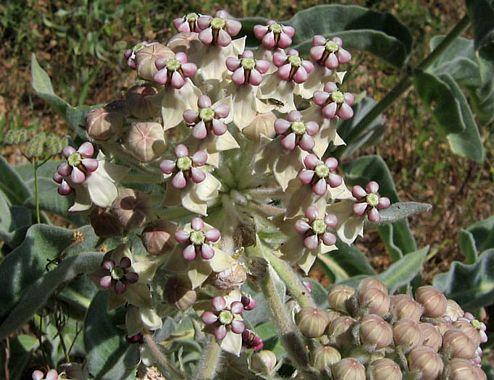 Asclepias eriocarpa