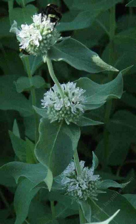 Pycnanthemum californicum