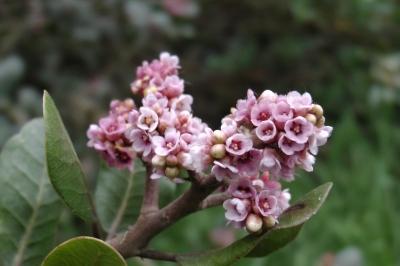 Rhus integrifolia