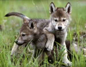 131747-baby-wolf-pups