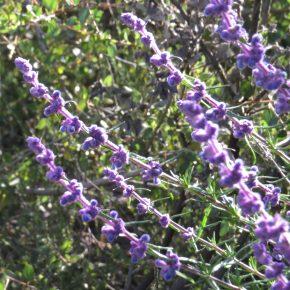 Plant sale_trichostema lanatum4