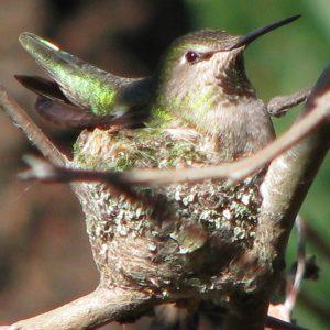 hummingbird_best