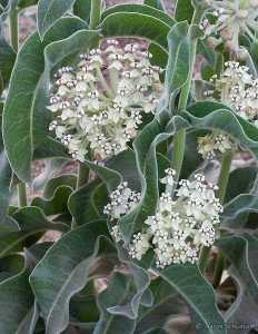 Asclepias eriocarpa, Indian milkweed, is a perennial that is native to Orange County and California and is also found outside of California, but is confined to western North America.