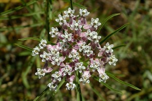 Asclepias fascicularis, narrow leaved milkweed, is a perennial that is native to California and is also found outside of California, but is confined to western North America.
