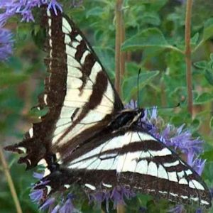 pale_swallowtail_butterfly_on_a_monardella_square