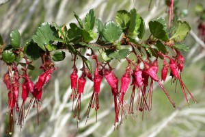 Ribes speciosum Pursh fuchsiaflower gooseberry Grossulariaceae: Gooseberry Family Point Sal Road Point Sal Ridge,  Casmalia Hills Santa Barbara County, CA January 26. 2004 PLANTS symbol: RISP DSCN4439