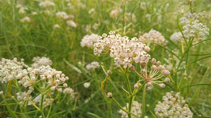 asclepias fasciculars